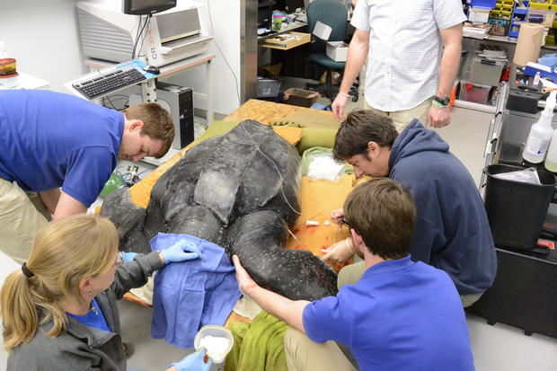 500-pound leatherback sea turtle rescued
