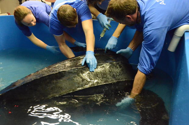 csouth-carolina-aquarium-sea-turtle-rescue-program-leatherback-sea-turtle-weight-check-and-antibiotic-injections-march-2015-70.jpg