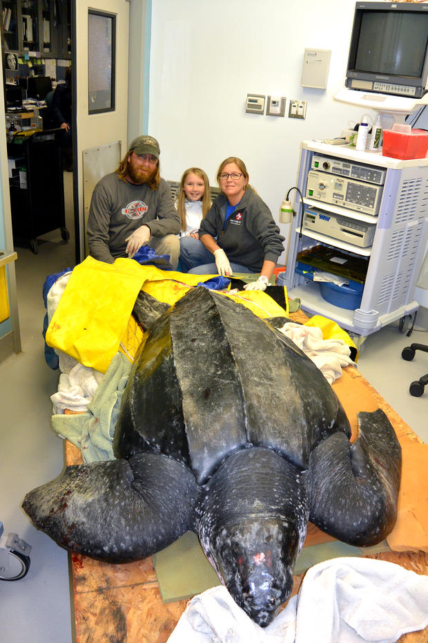 south-carolina-aquarium-sea-turtle-rescue-program-leatherback-sea-turtle-march-2015-20.jpg