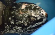500-pound leatherback sea turtle rescued