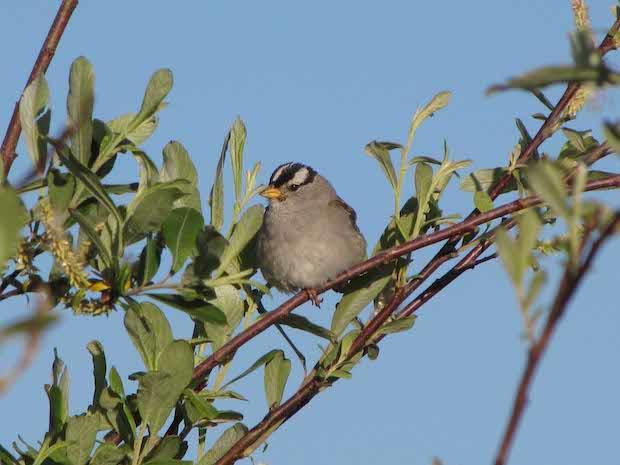 white-crowned-sparrow1forsyth-creeklr01jul2009-copy.jpg