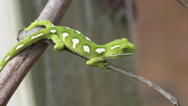 pet gecko lizards can make people sick cbs news
