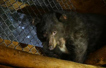 Bear beats the odds after Washington wildfire