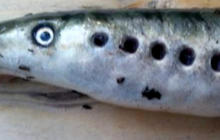 Terrifying vampire fish falling from the sky in alaska for Vampire fish for sale