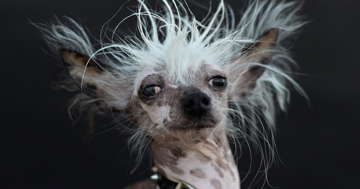 Rascal - World's Ugliest Dog Contest 2015 - Pictures - CBS ...
