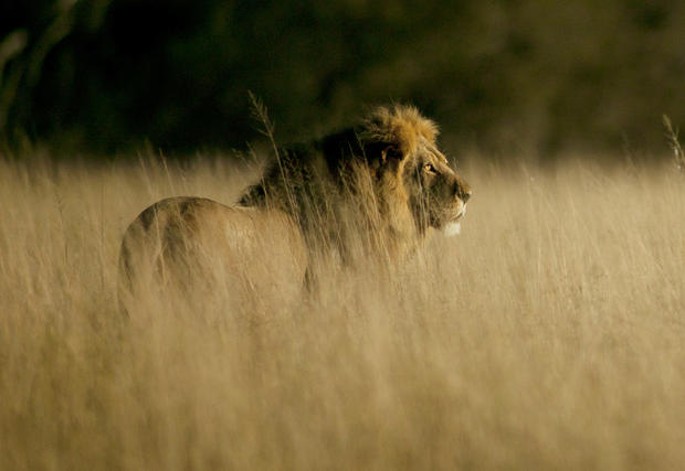 Cecil the lion - Famed lion, known as Cecil, hunted and