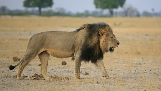 cecil-the-lion-brent-stapelkamp-620.jpg