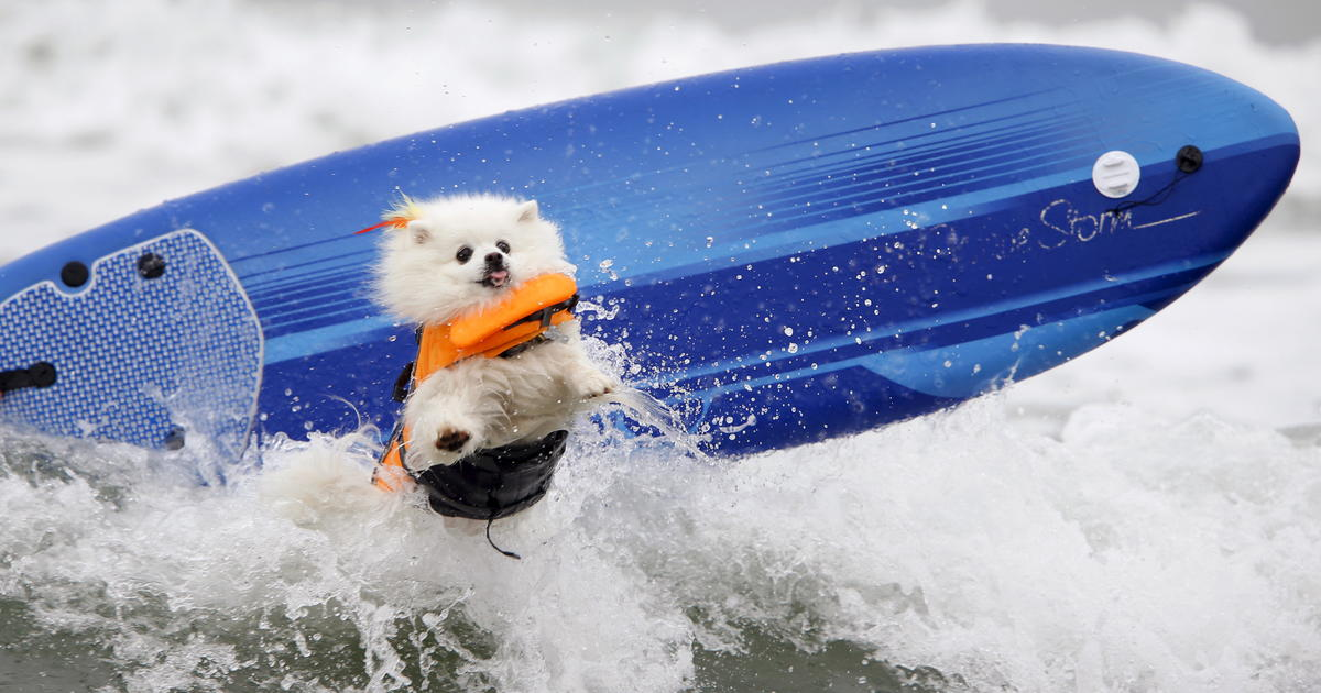 Brandy The Pug Riding The Waves Surfin Dogs USA Pictures - Brandy the award winning surfing pug
