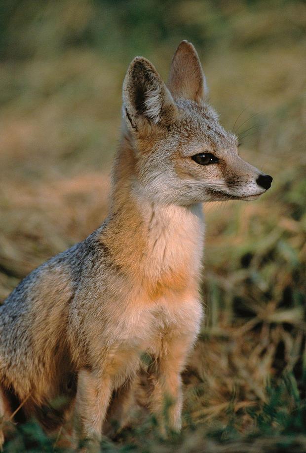 san-joaquin-kit-fox.jpg