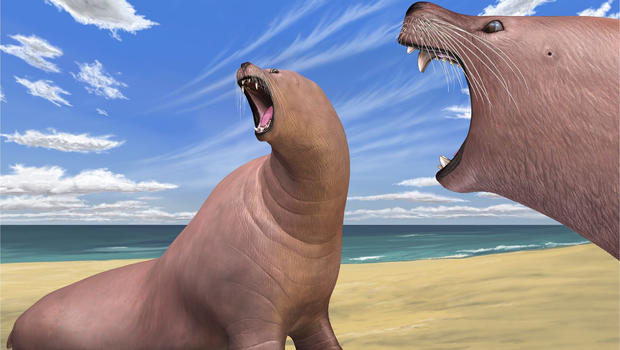 Ancient Walrus Made Do Without Tusks Cbs News
