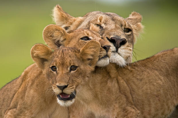Everything you need to know about lions