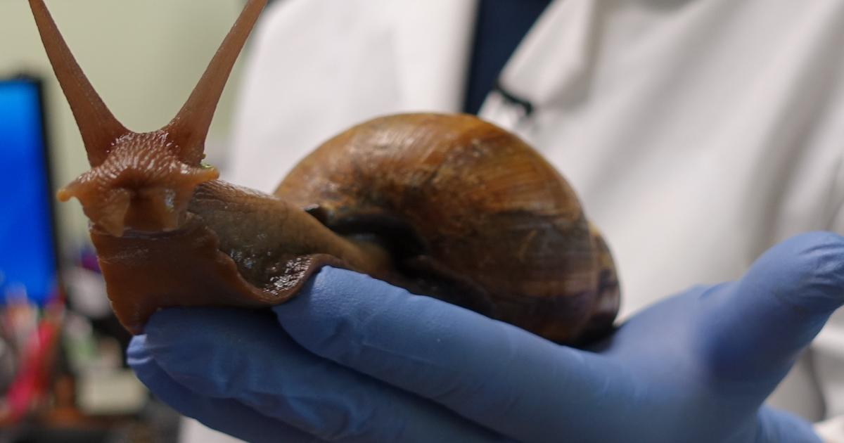 Giant snails are terro...