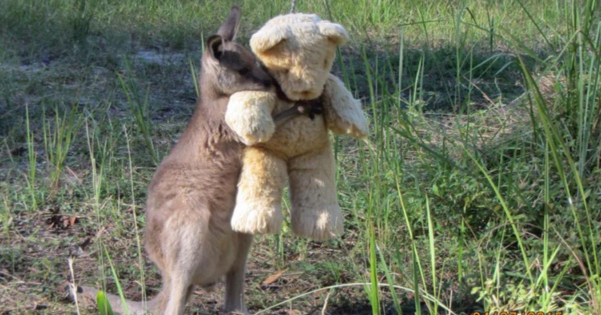 Doodlebug the orphaned baby kangaroo loves to hug his teddy