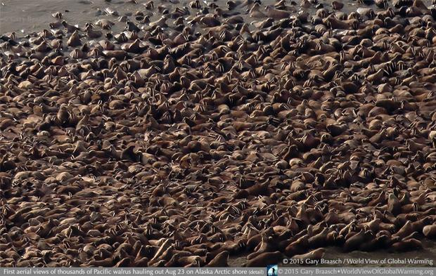 climate change walruses