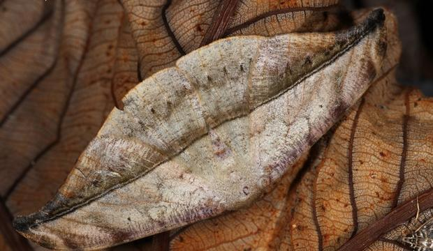moth-7-oxydia-angusta-credit-mileniusz-spanowicz-wcs.jpg