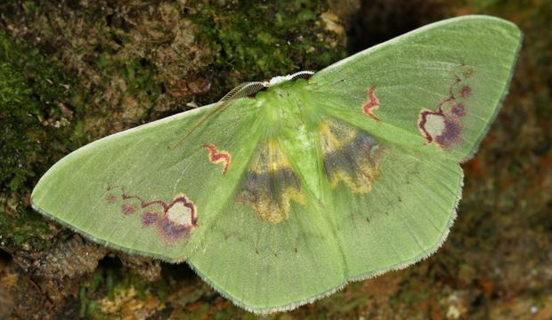 moth-4-rhodochlora-endognoma-geotridae-credit-mileniusz-spanowicz-wcs.jpg