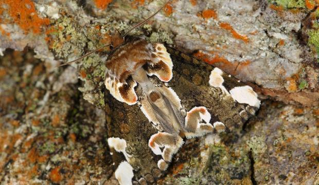moth-6-unidentifiued-species-credit-mileniusz-spanowicz-wcs.jpg