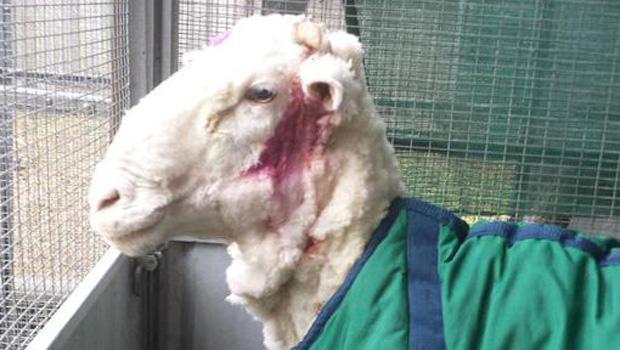 sheepshorn2015-09-03t060301z221037747gf10000191080rtrmadp3australia-sheep-wool.jpg