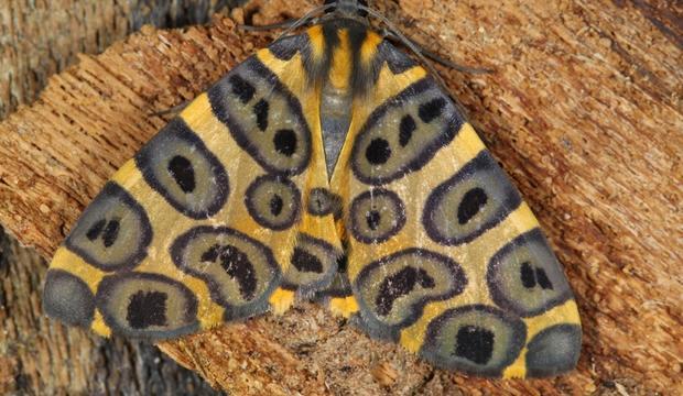 moth-9-pantherodes-cf-pardalaria-geometridae-credit-mileniusz-spanowicz-wcs.jpg
