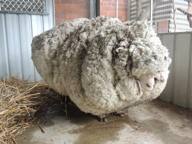 The shear bravery of Chris the runaway sheep