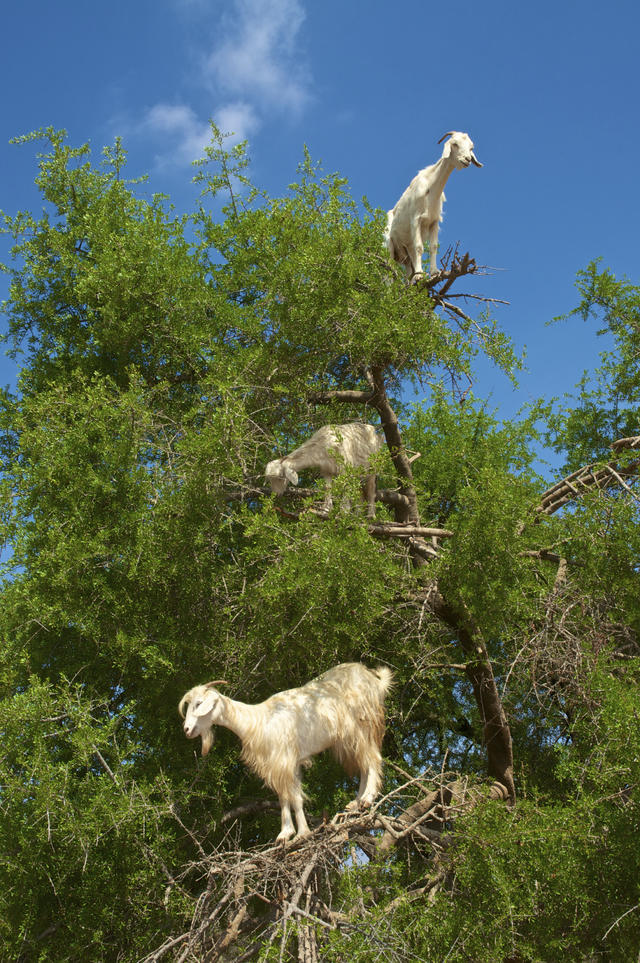 Tree goats - The poop of these Moroccan tree goats produces
