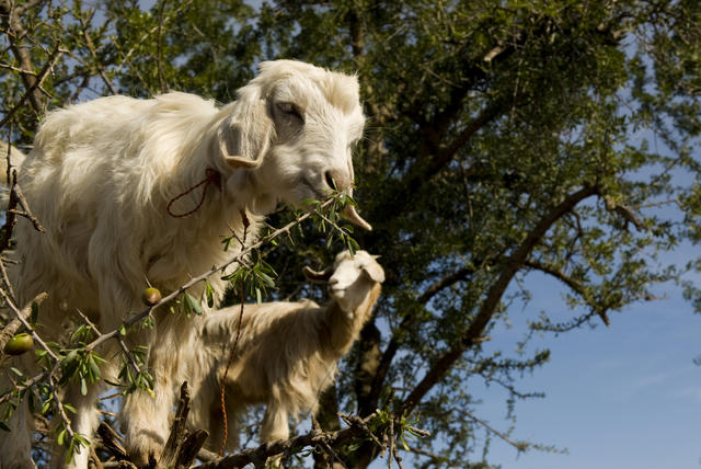 Tree goats - The poop of these Moroccan tree goats produces pricey