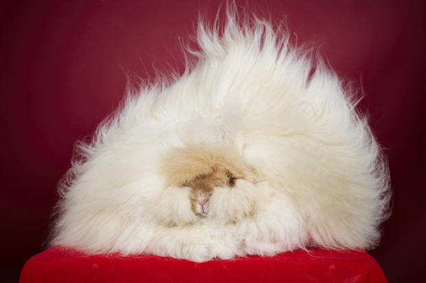 franchesca-longest-fur-on-a-rabbit8299.jpg