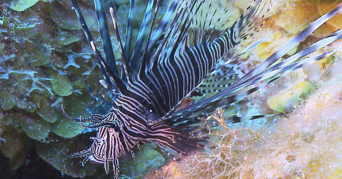 Lionfish: From malicious to delicious