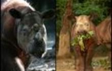 Unusual measures to save endangered Sumatran rhino
