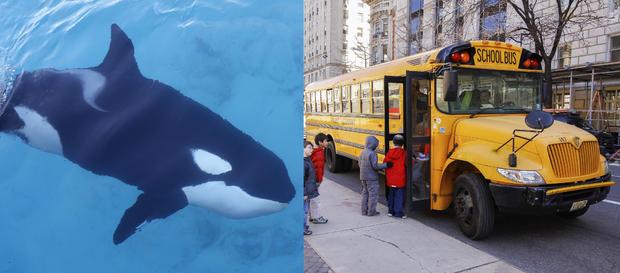 killer-whale-size-comp.jpg