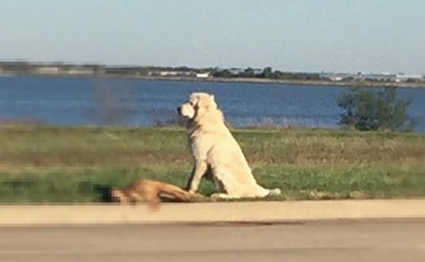 A Facebook user posted a photo of a Great Pyrenees standing over the body of his fallen friend in Dallas, Texas.