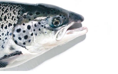 Genetically modified salmon coming to supermarkets