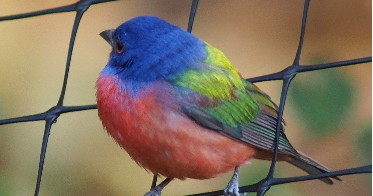 Rare rainbow-colored painted bunting bird spotted in ...