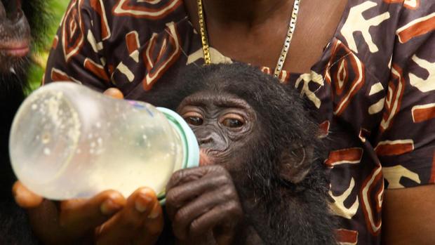 preview-bonobos0.jpg