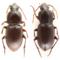 chaetodactyla-rainioaenew-beetle-c-california-academy-of-sciences.png