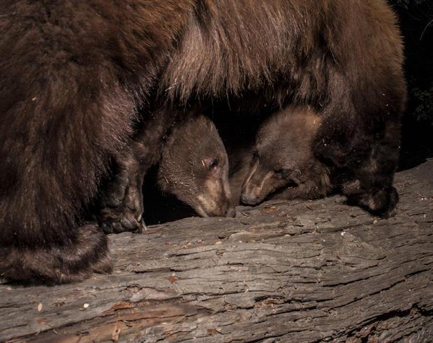 bear-cubs.jpg