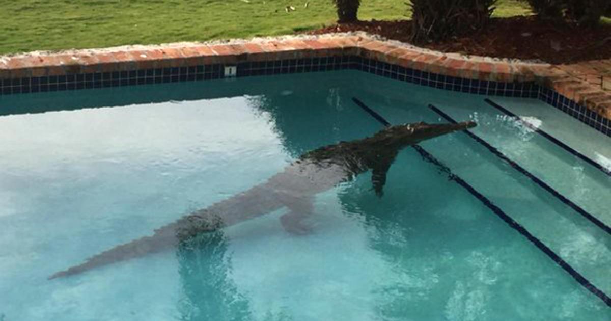 florida-crocodile-pool-czp-z8gukaajyvd.j