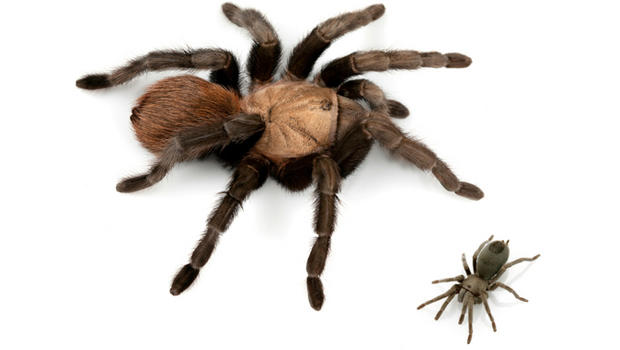 large-and-small-tarantulas.jpg