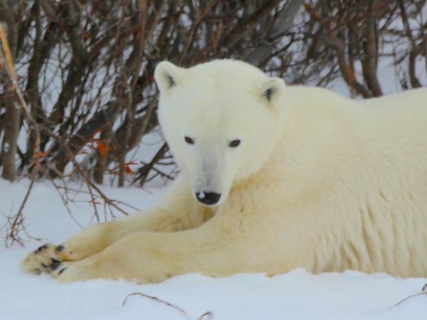 churchill-manitoba-polar-bear-capital-dustin-stephens-img1778.jpg