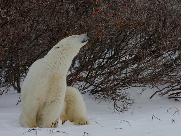churchill-manitoba-polar-bear-capital-dustin-stephens-img1823.jpg