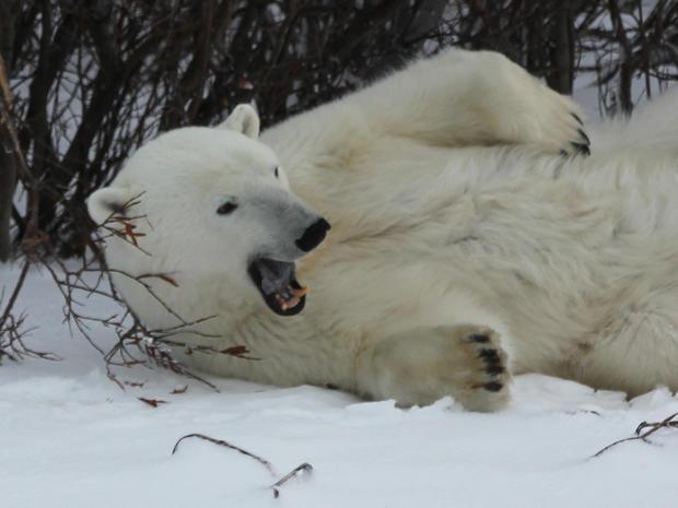 churchill-manitoba-polar-bear-capital-dustin-stephens-img1804.jpg