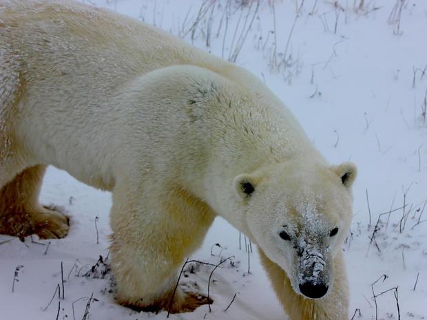 churchill-manitoba-polar-bear-capital-dustin-stephens-img1604.jpg