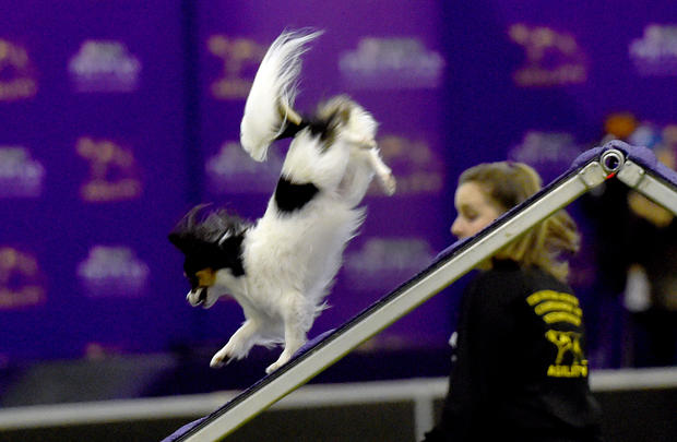 Westminster Dog Show Classes