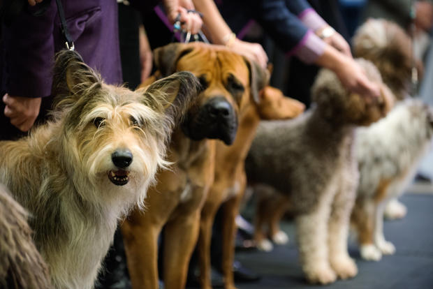 westminster kennel club dog show westminster dog show debuts 7 new