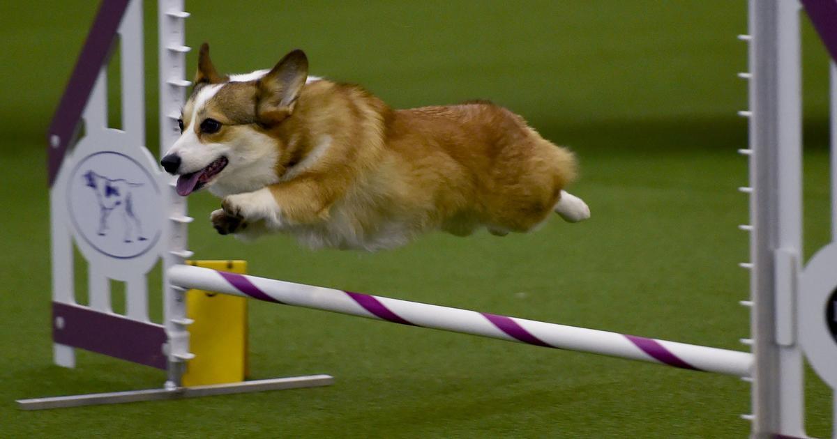 Westminster Dog Show Contestants