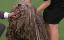 Westminster Kennel Club expands dog show with new breeds