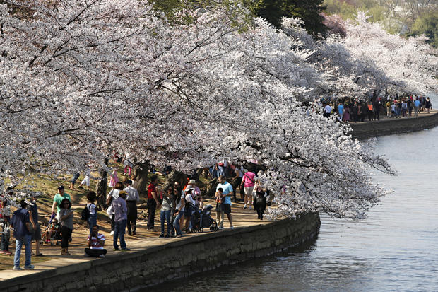 Cherry blossoms spring to life