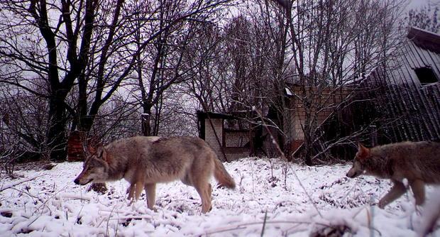 Wildlife flourishes in Chernobyl