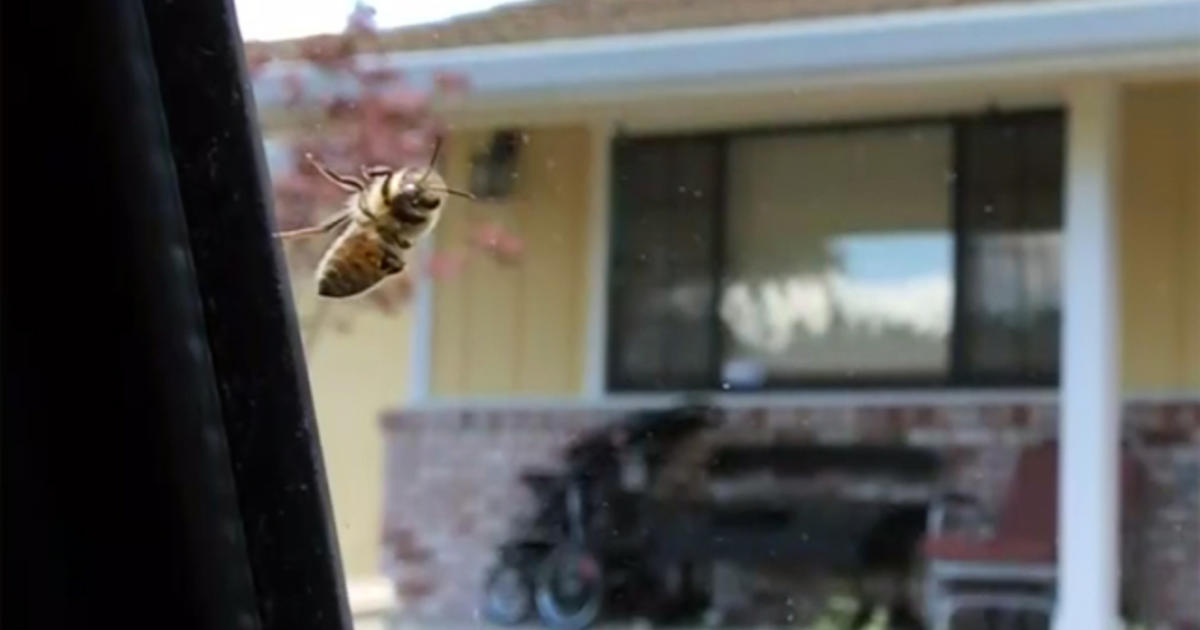 Swarm of aggressive bees attack California town - CBS News