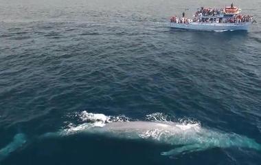 Giant blue whale dwarfs ship